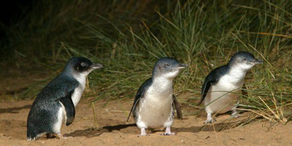 Penguin at Phillip Island